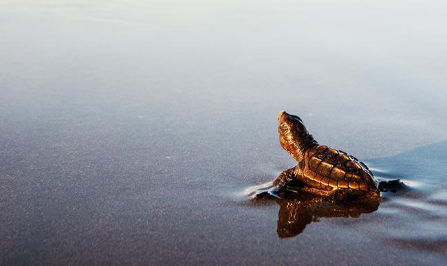 bebe tortue sur une plage du costa rica