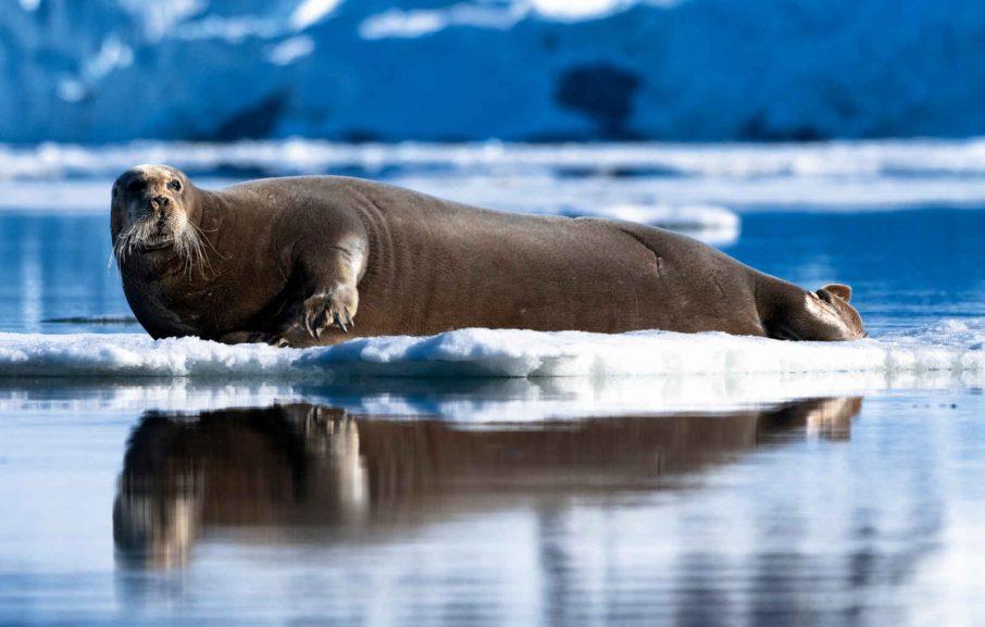 Phoque Barbu, Archipel Svalbard, Spitzberg, Norvège