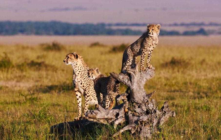 Guépards, Cratère du NGorongoro, Tanzanie