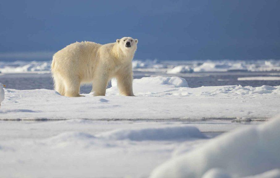 Ours polaire, archipel de Svalbard, Norvège